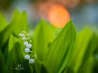 Fleur de muguet contre le coucher de soleil