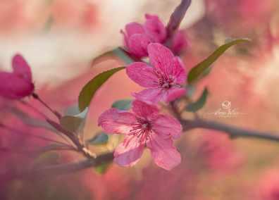 fleurs de pommiers rose
