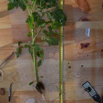 Tomato plant nr 1