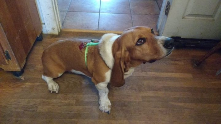Dog pictures, basset hound, pet adoption