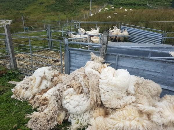 schapenwol
