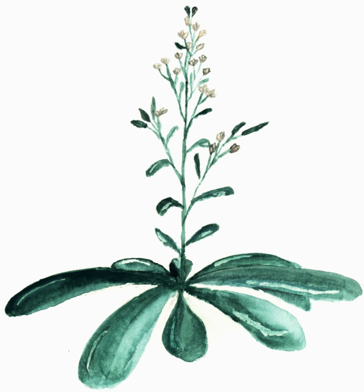 Gouache of Arabidopsis Plant