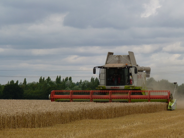 harvesting wheat in Grove Field August