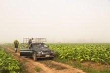 朝霧の中、農作物の収穫を行う。