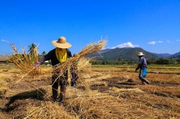 タマネギ畑にて。朝晩の冷え込みから守るため、作物にわらを被せていた。
