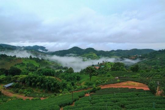 丘陵地に整然と植えられた茶畑が美しい。