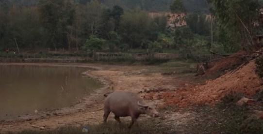 小走り水牛