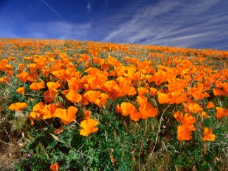 photo of poppies for a painting.