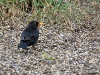 Kolrst hane / Blackbird male
