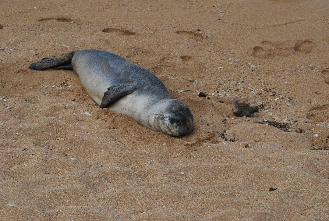 Phoque se reposant sur la plage.