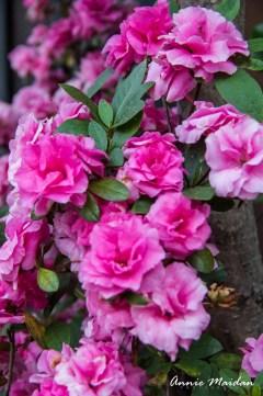A Cluster of Pink Petals