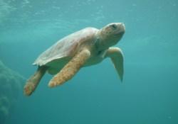 tortue marine nageant