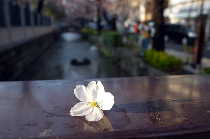 [花見] 京都賞櫻Day2 – 春の嵐 夢館和服日