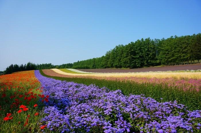 [夏 北海道] 盛夏花海 富良野 富田農場