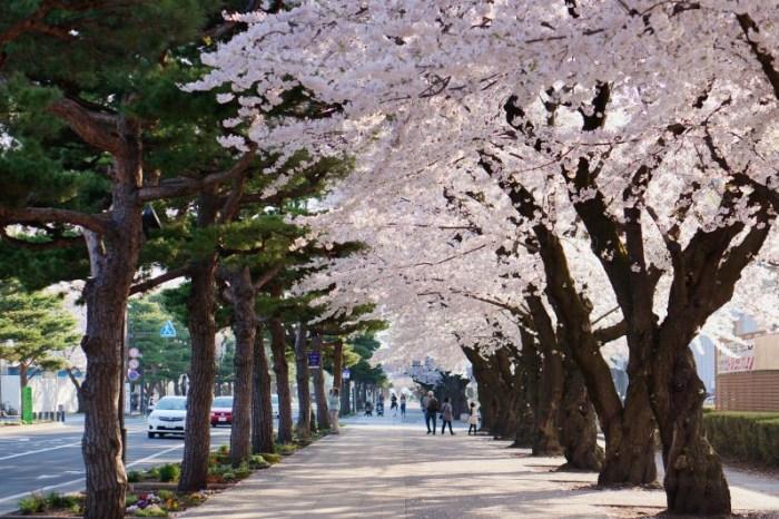 [2015櫻花] 青森 日本街道百選 十和田市官廳街通 櫻吹雪