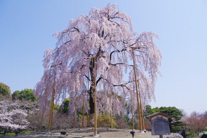 [2013花見] 櫻滿開 – 京都 東寺