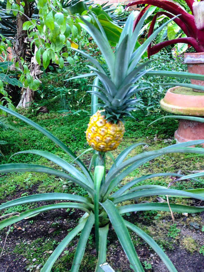 Baby Pineapple Photographed by Annie Fairfax