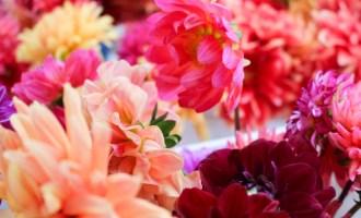 Dahlia Flowers