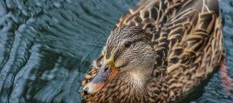 Feeding Ducks in France