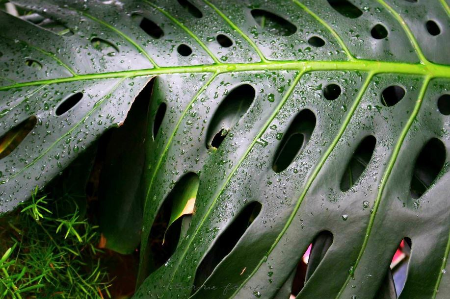 Philodendron by Annie Fairfax