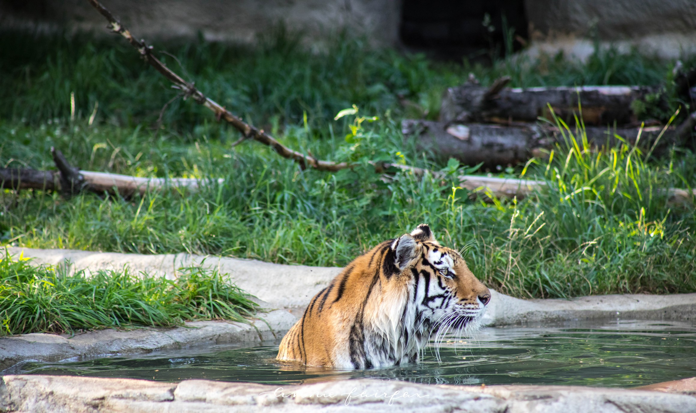 Tiger Emerges from Pool