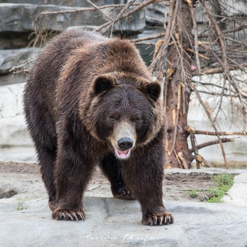 Alaskan Brown Bear Photographed by Annie Fairfax Via AnnieWearsIt