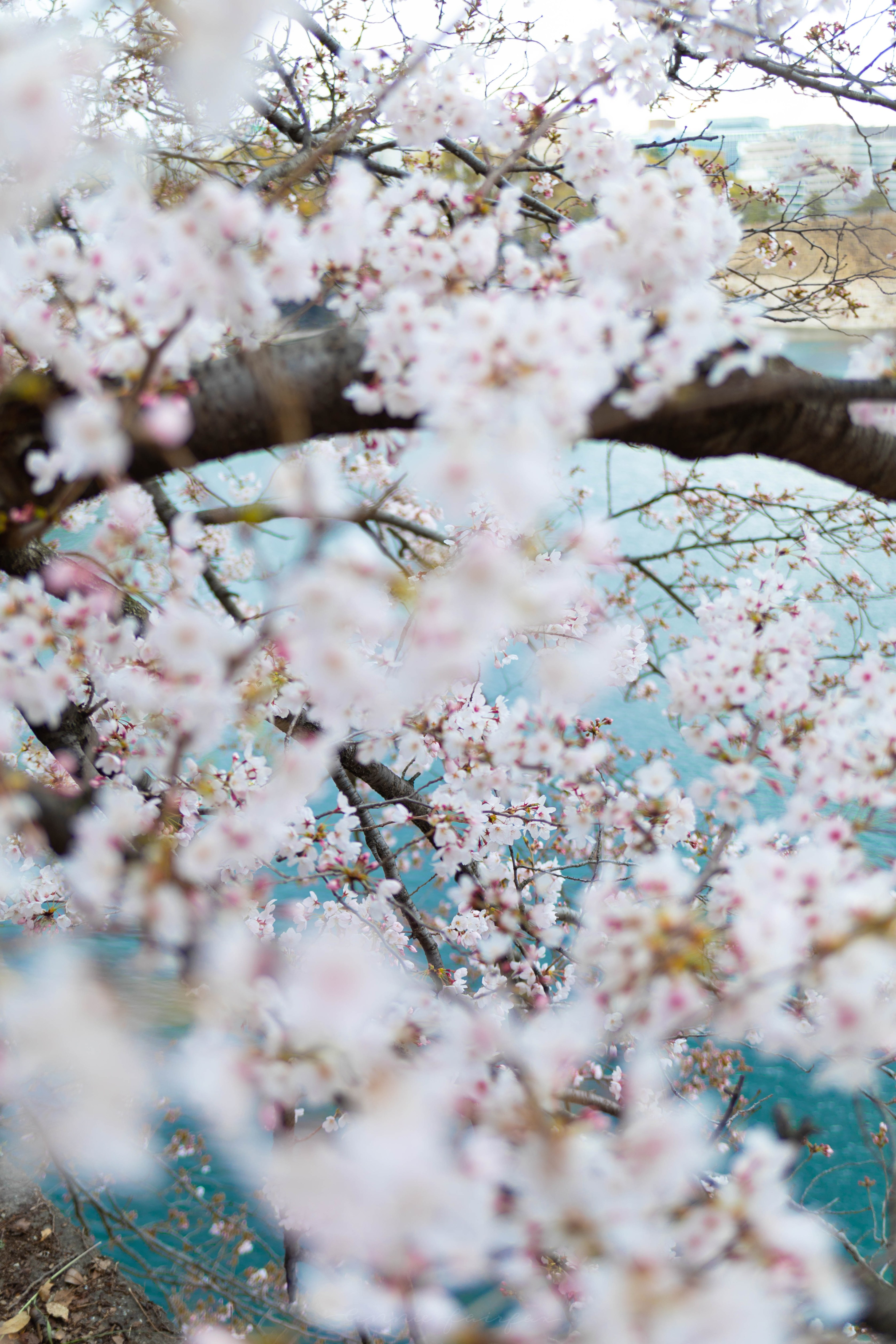 Cherry Blossoms Over the Water in Gion, Japan