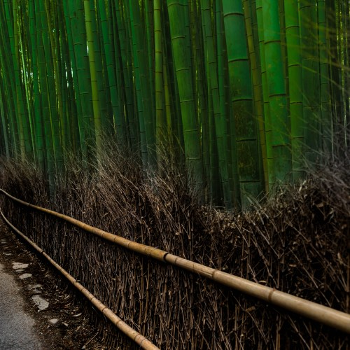 Visiting Arashiyama Bamboo Grove in Kyoto, Japan