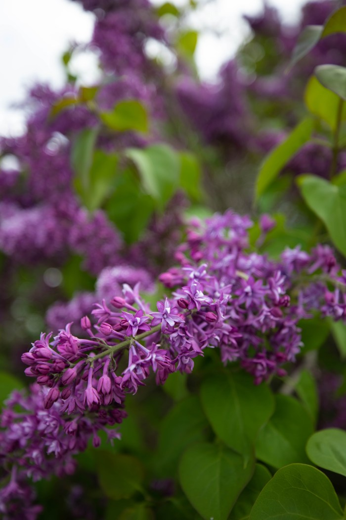 Lilac Festival on Mackinac Island, Michigan