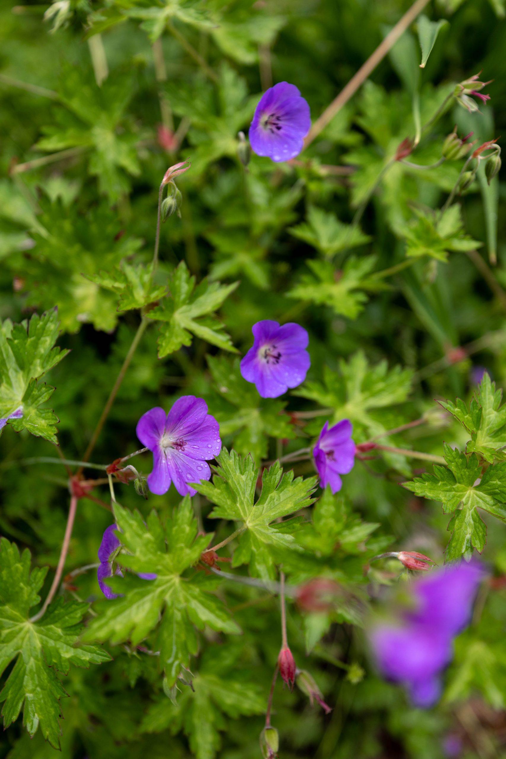Purple Flowers at Mission Point Resort on Mackinac Island by @AnnieFairfax
