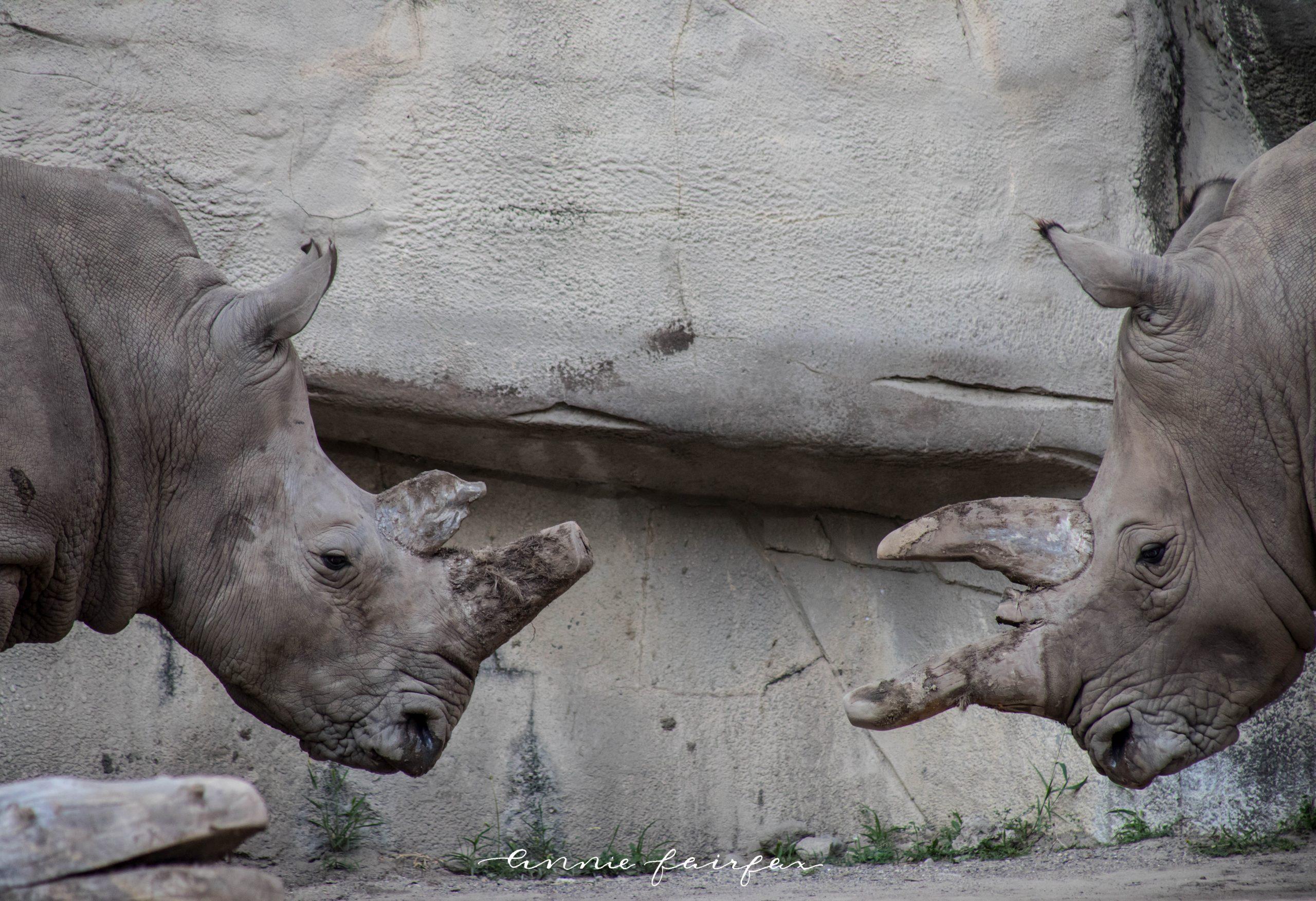 Rhinos at the Detroit Zoo in Royal Oak Michigan by Annie Fairfax
