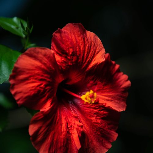 Stunning Red Hibiscus at the Detroit Zoo's Matilda R. Wilson Free-Flight Aviary Photographed by Annie Fairfax for AnnieFairfax.com