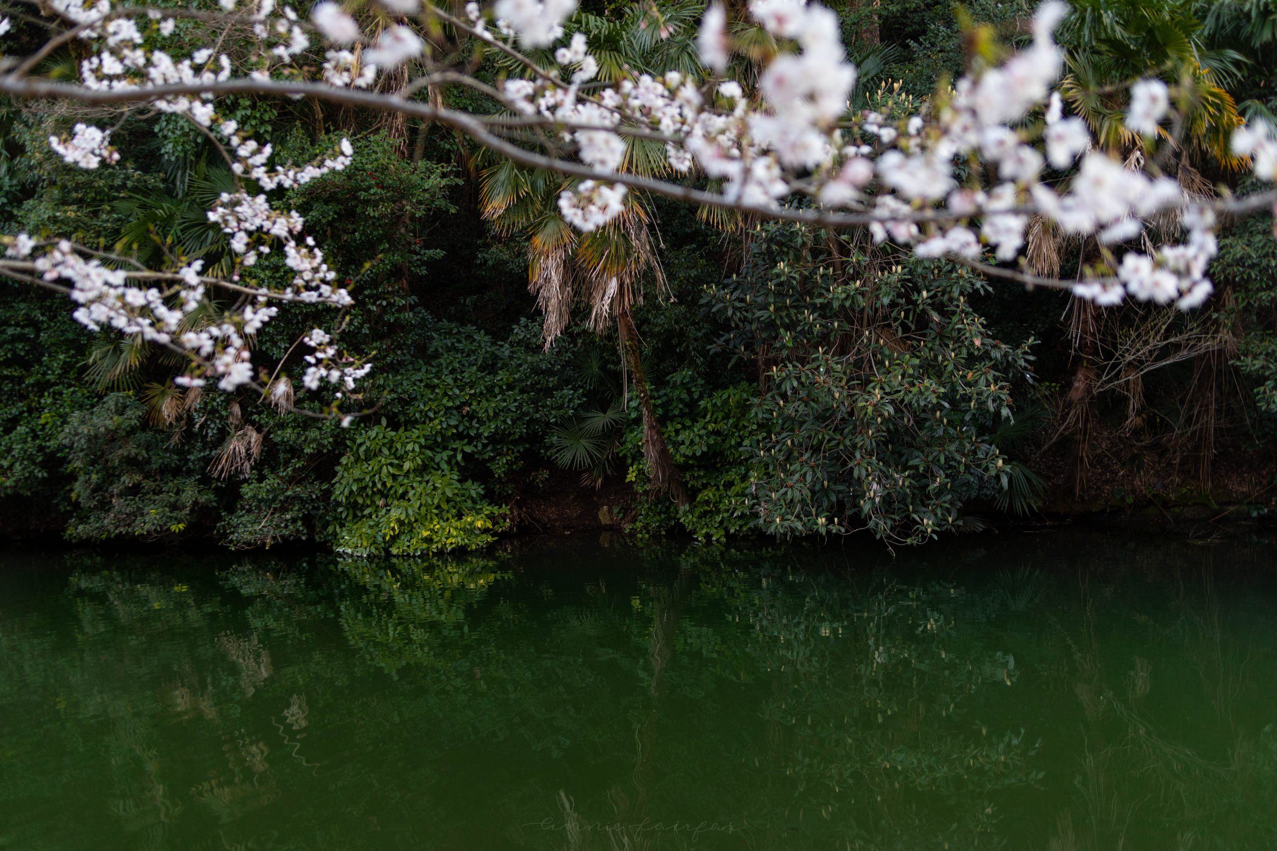 Park at Sunset Near Himeji Castle Cherry Blossom Season in Hemeji Japan by @AnnieFairfax