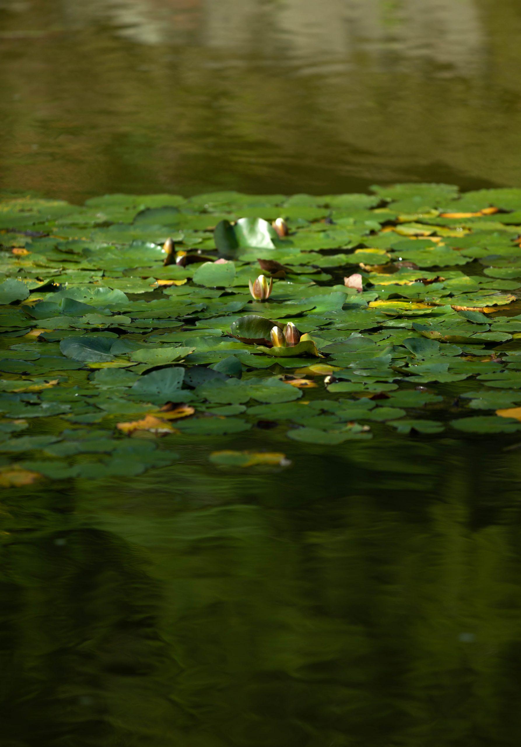 Lotus on the Pond at Seattle Japanese Garden in Washington Pacific Northwest by Annie Fairfax