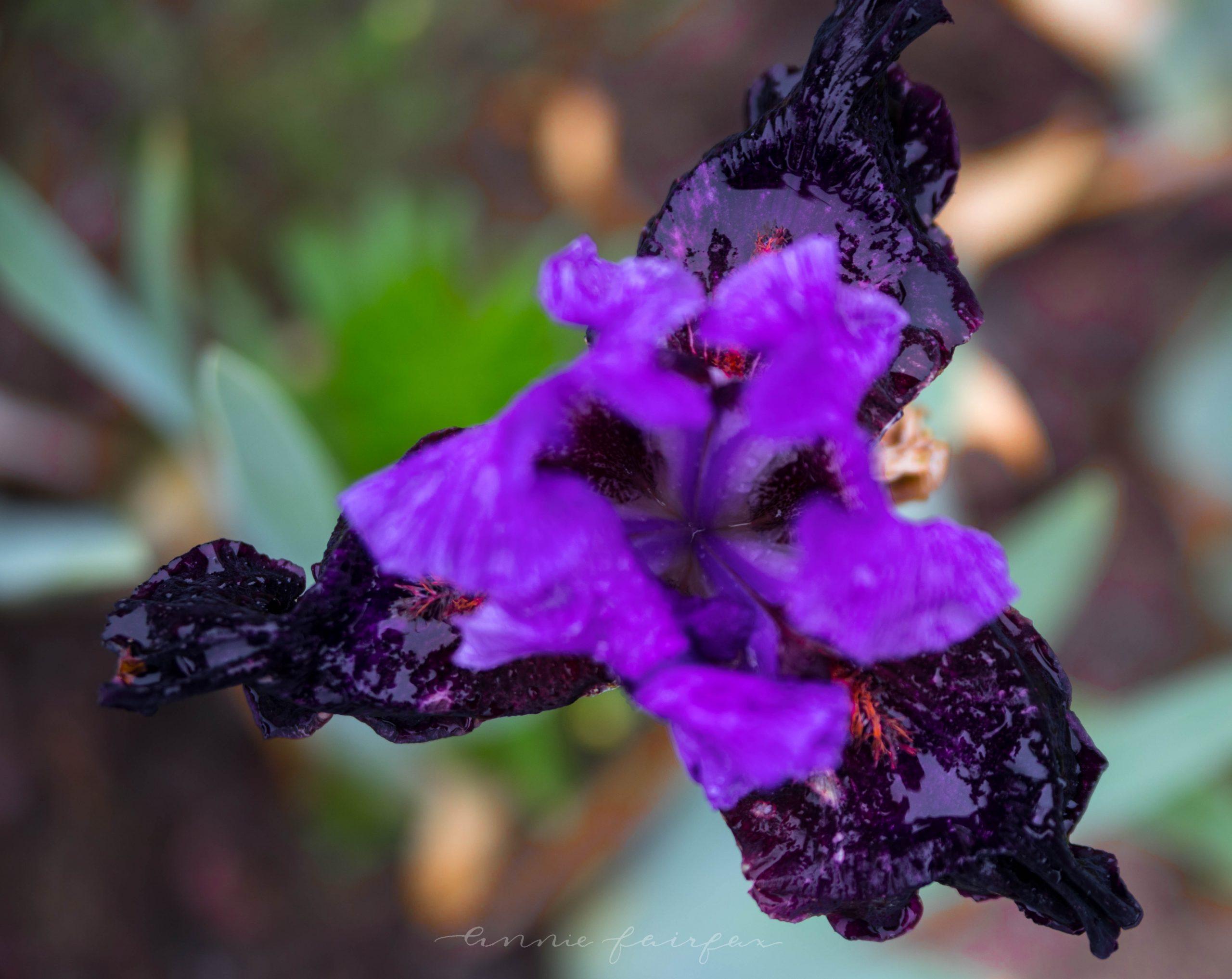 Iris Farm in Traverse City Michigan by Annie Fairfax Purple Spring Irises