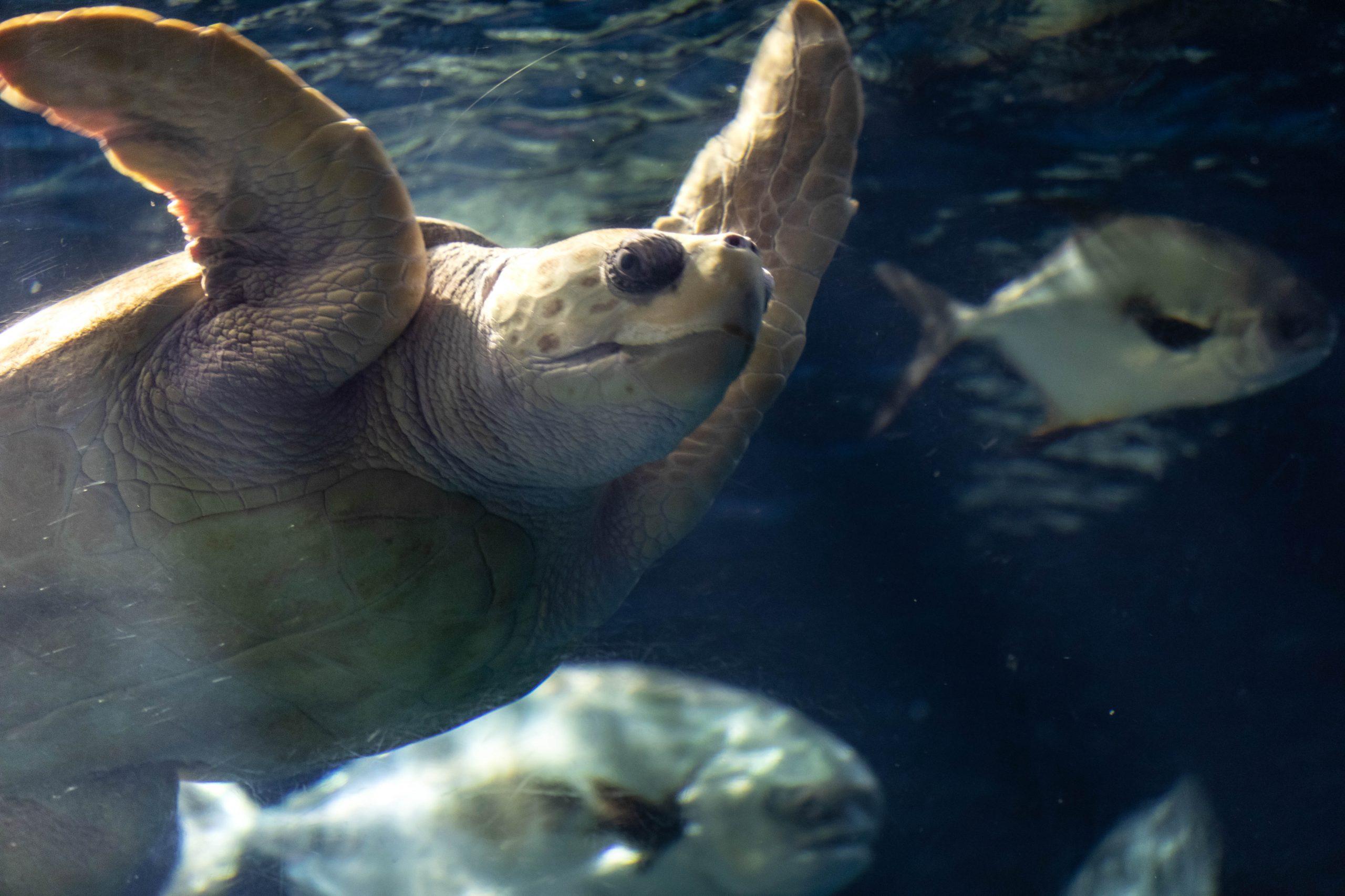 Caretta Loggerhead Sea Turtle at The South Carolina Aquarium & Sea Turtle Care Center Photographed by Luxury Travel Writer Annie Fairfax