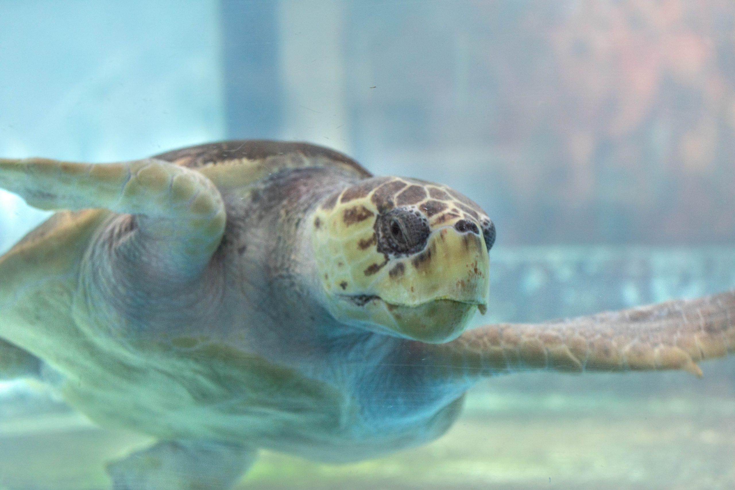 Sea Turtle at The South Carolina Aquarium & Sea Turtle Care Center Photographed by Luxury Travel Writer Annie Fairfax