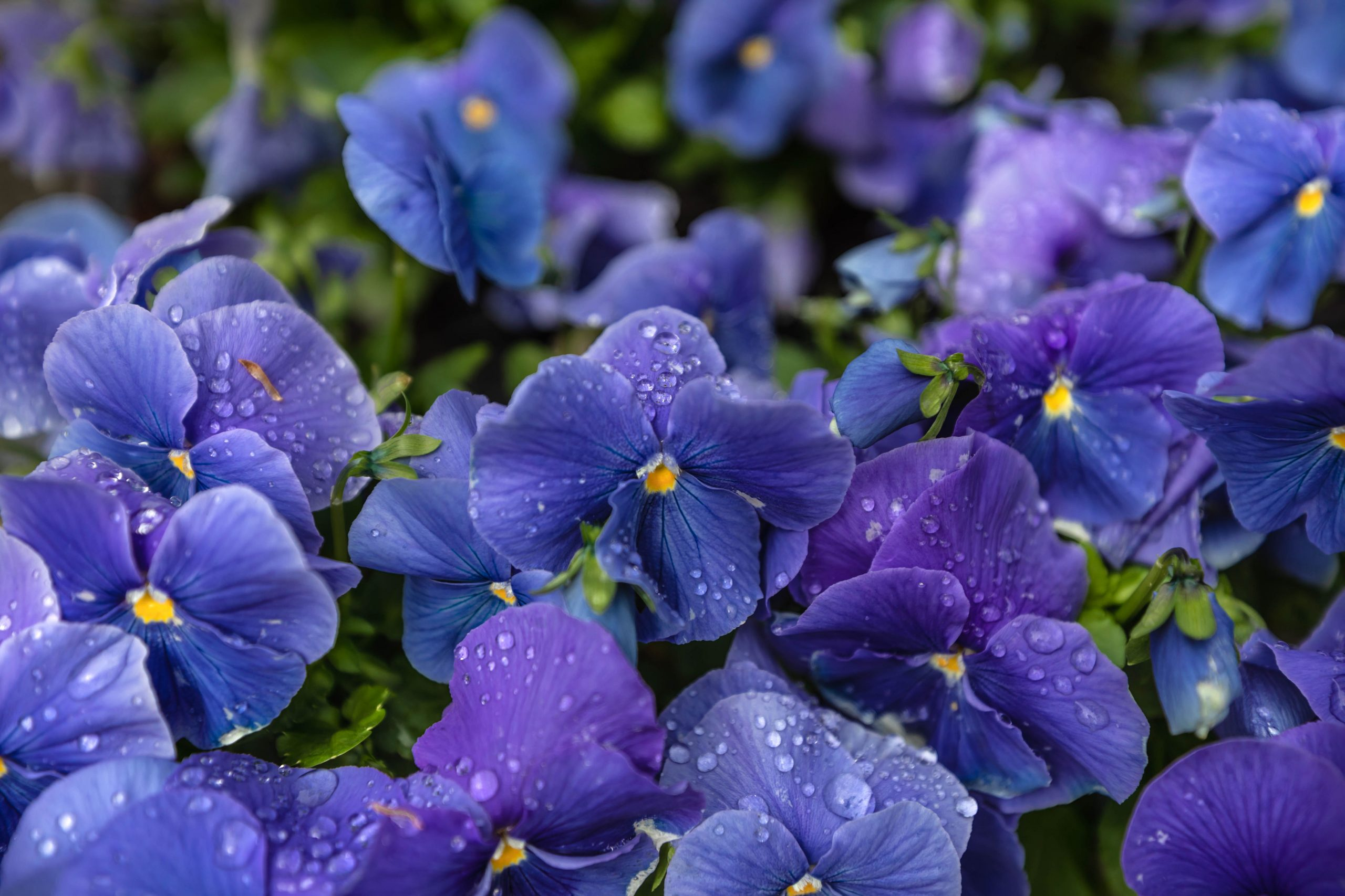 Blue Pansies in Washington DC Itinerary by Luxury Travel Writer Annie Fairfax