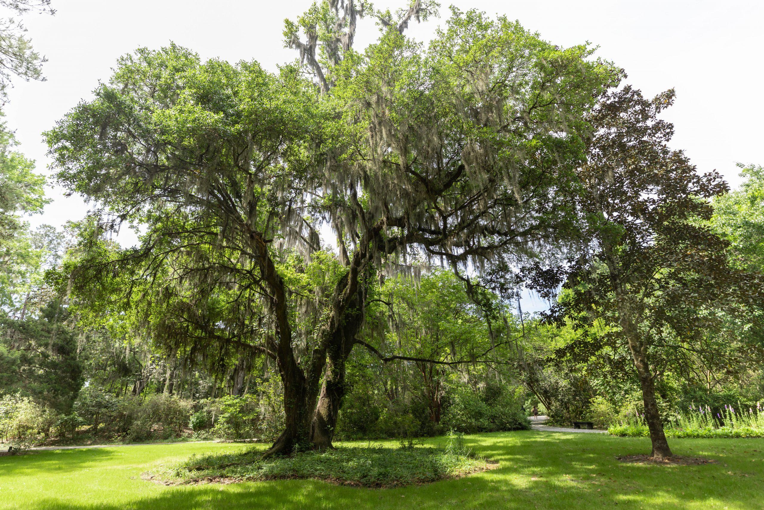 Live Oak Tree at Magnolia Plantation & Gardens in Charleston South Carolina Written & Photographed by Annie Fairfax