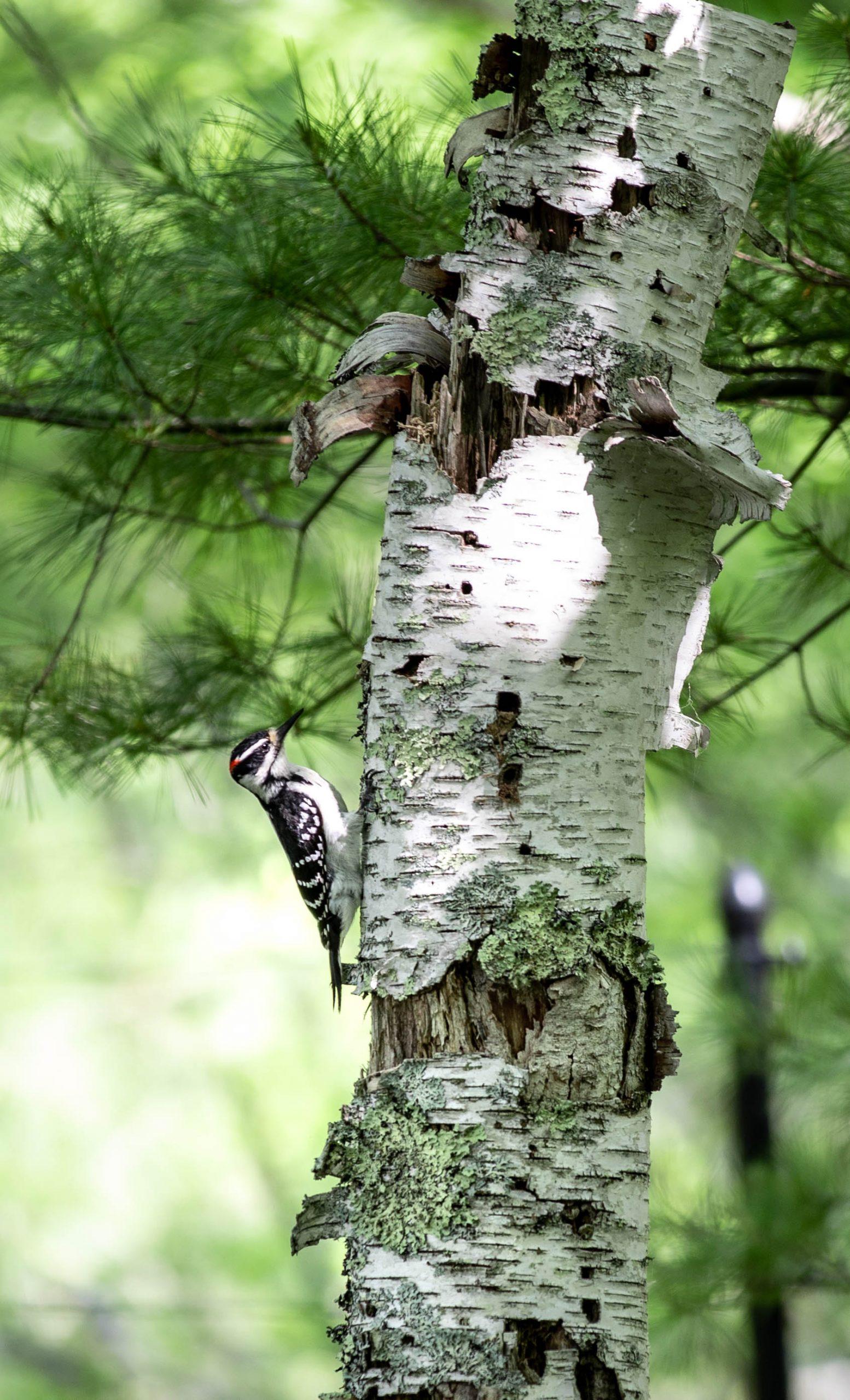 Woodpecker Wild Gardens of Acadia Botanical Garden inside Acadia National Park Mount Desert Island near Bar Harbor Maine Written and Photographed by Luxury Travel Writer Annie Fairfax