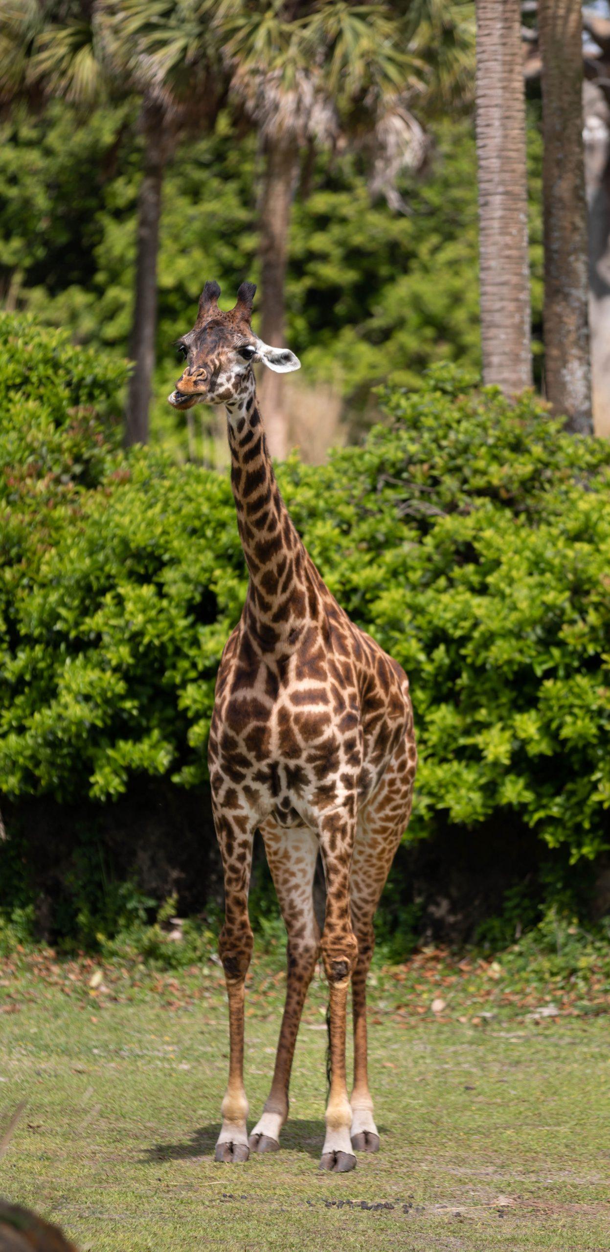 Animal Kingdom Kilimanjaro Safari Giraffe Sighting Photographed by Annie Fairfax