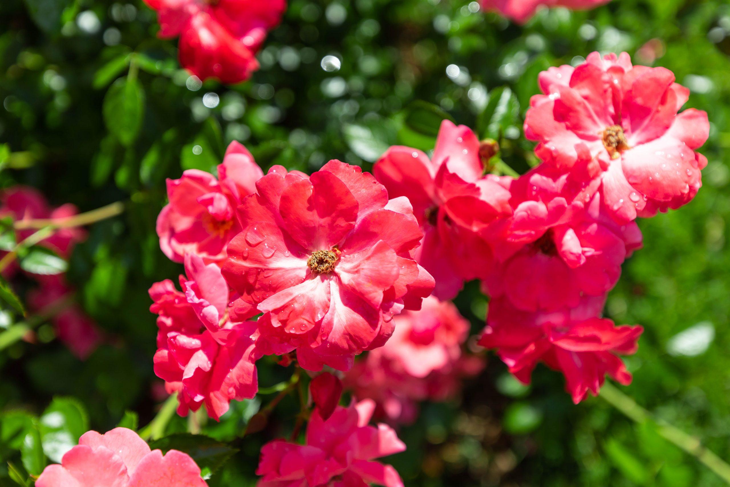 The Helen S Kaman Rose Garden within Elizabeth Park in Hartford, Connecticut Photographed by Annie Fairfax