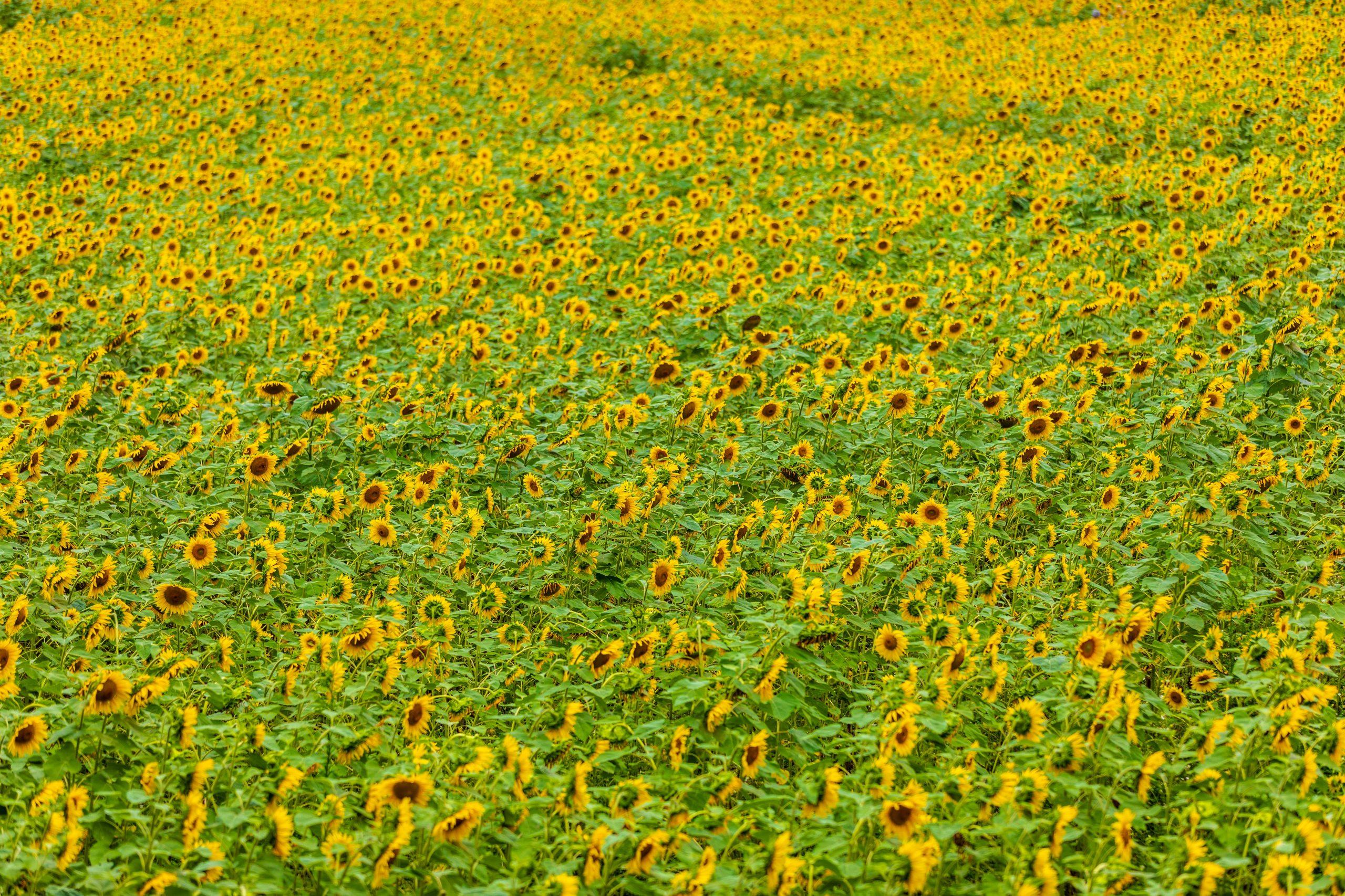 Buttonwood Farm Sunflower Gardens Garden in Griswold Connecticut by Annie Fairfax