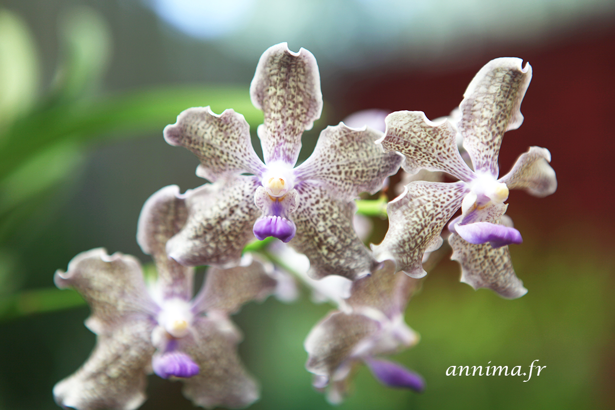 les belles orchid es du sri lanka. Black Bedroom Furniture Sets. Home Design Ideas