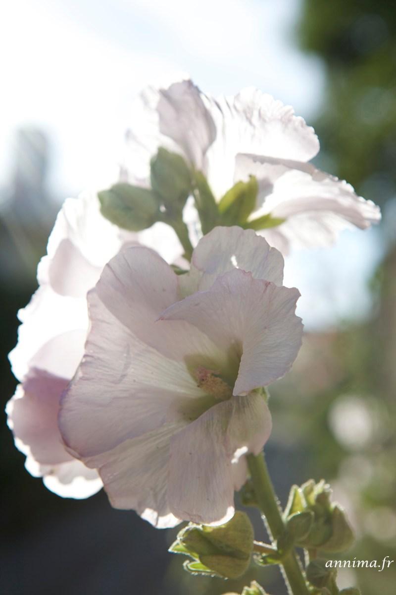roses-tremieres-Ré5