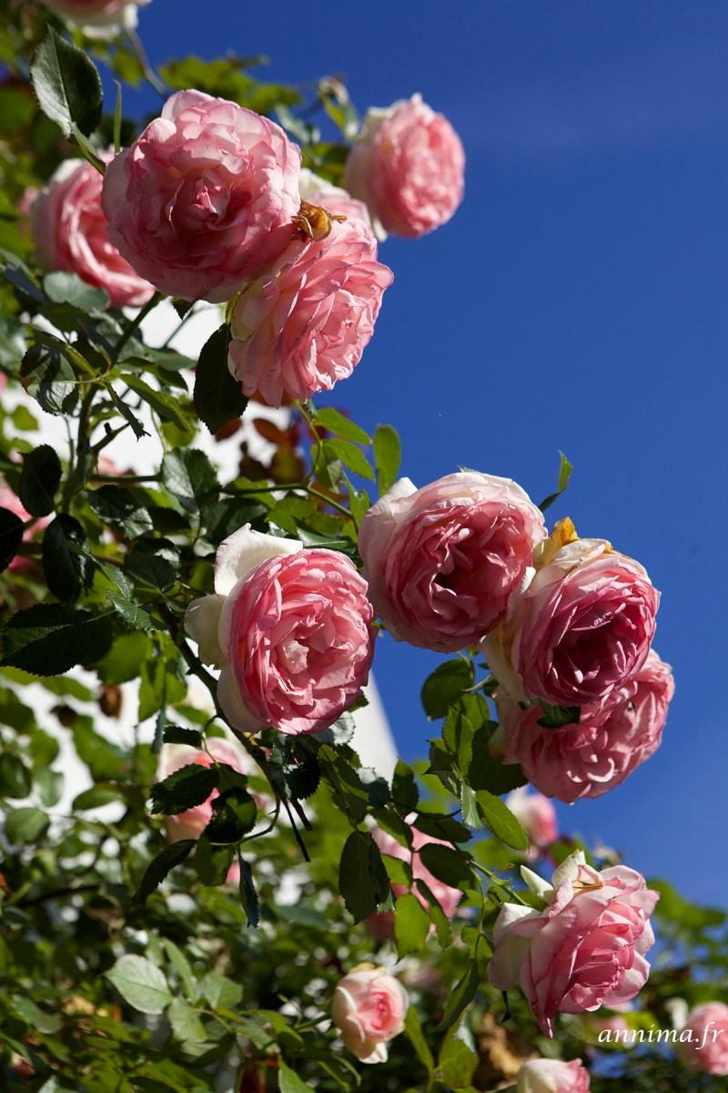 roses-tremieres-Ré6