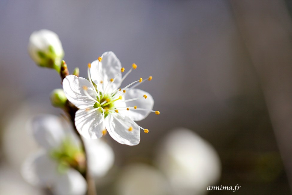 Printemps-fleurs15