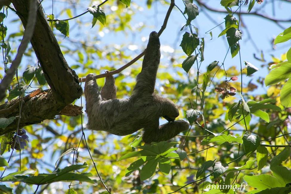 Parador, Costa Rica, faune, paresseux