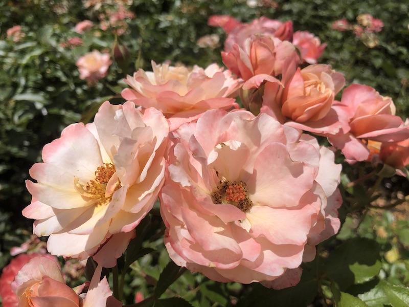 Martels roses