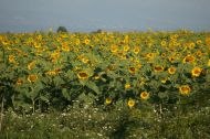 Sunflowers on the way to the border